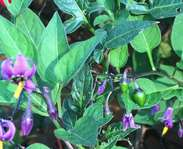 Sighting photo: Solanum dulcamara