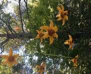 Sighting photo: Lilium canadense