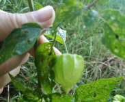 Sighting photo: Mexican ground-cherry