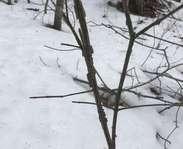 Sighting photo: Euonymus alatus