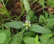 Sighting photo: Prunella vulgaris