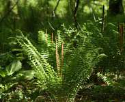Sighting photo: Osmundastrum cinnamomeum