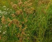 Sighting photo: Wool Grass (Scirpus cyperinus)