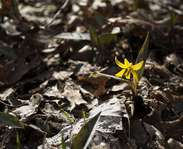 Sighting photo: Amerian trout-lily