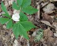 Sighting photo: Anemone quinquefolia