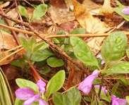 Sighting photo: fringed milkwort