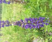 Sighting photo: blue lupine