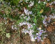 Sighting photo: Symphyotrichum cordifolium
