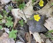 Sighting photo: dwarf cinquefoil