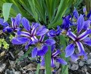 Sighting photo: Iris versicolor