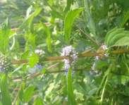 Sighting photo: American wild mint