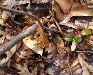 Sighting photo: eastern spicy-wintergreen (Gaultheria procumbens)
