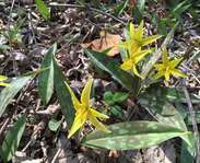 Sighting photo: Erythronium americanum