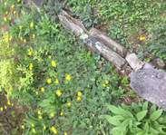 Sighting photo: Hieracium maculatum