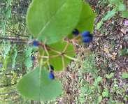 Sighting photo: Viburnum nudum