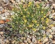 Sighting photo: Hypericum gentianoides