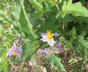 Sighting photo: Solanum carolinense