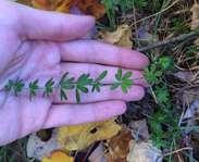 Sighting photo: Galium asprellum