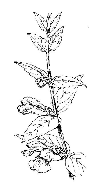 Lamiaceae: Dichotomous Key: Go Botany
