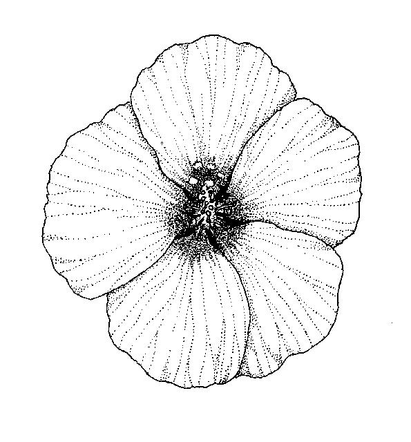 gynoecium malvaceae dichotomous key go botany