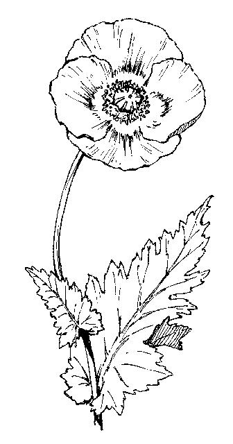 papaveraceae  dichotomous key  go botany