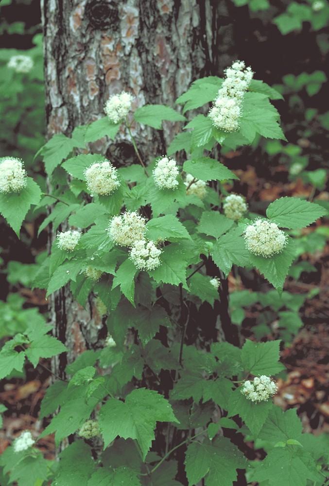 Woody plants simple key go botany plant form viburnum acerifolium by arieh tal copyright 2018 arieh mightylinksfo