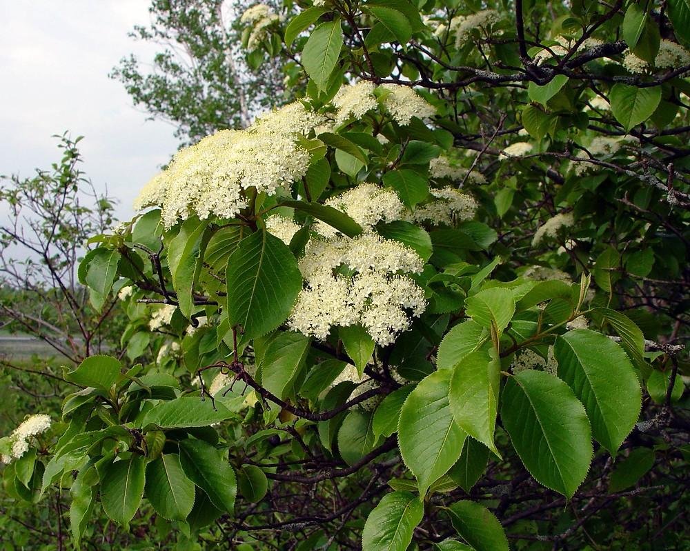 Viburnum Lentago Nannyberry Go Botany