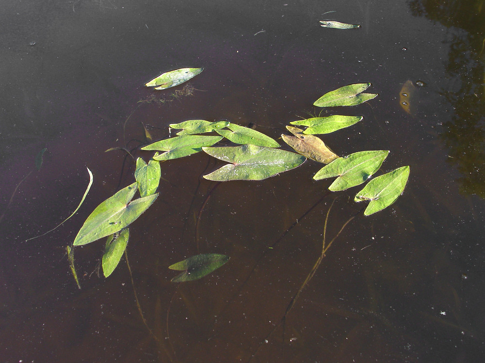Related Keywords & Suggestions for sagittaria cuneata