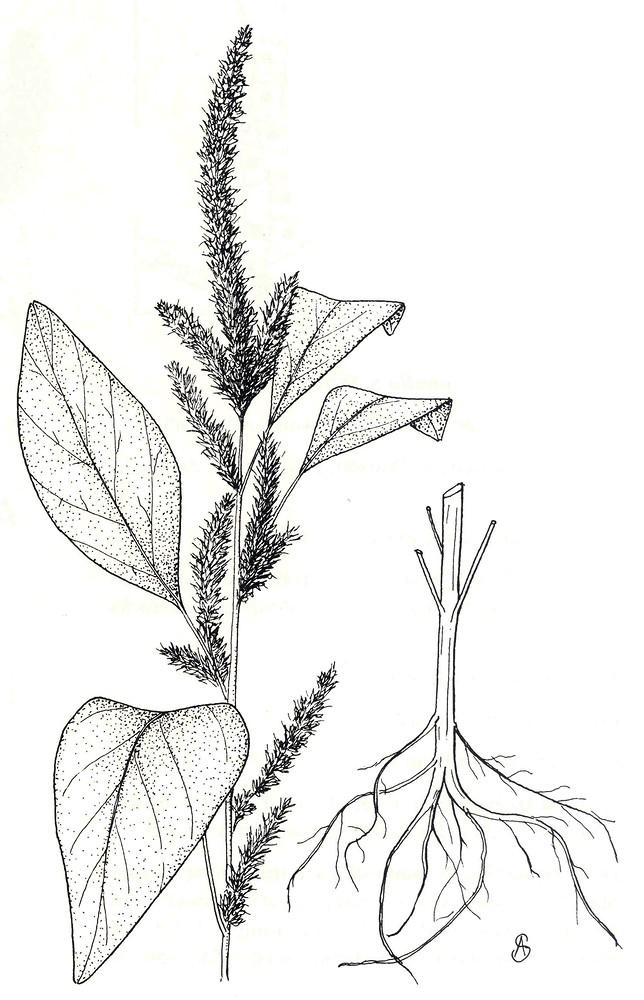Amaranthus Hybridus  Green Amaranth   Go Botany