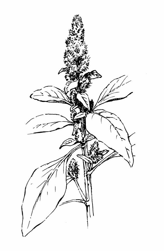 amaranthus retroflexus  red