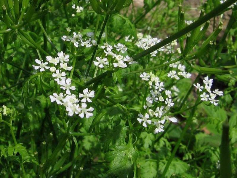 Anthriscus cerefolium garden chervil Go Botany