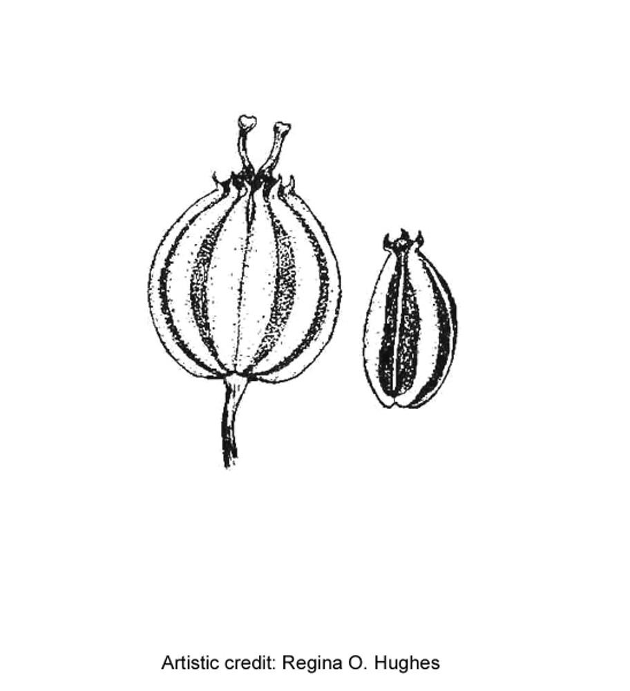 Cicuta Maculata Fruit