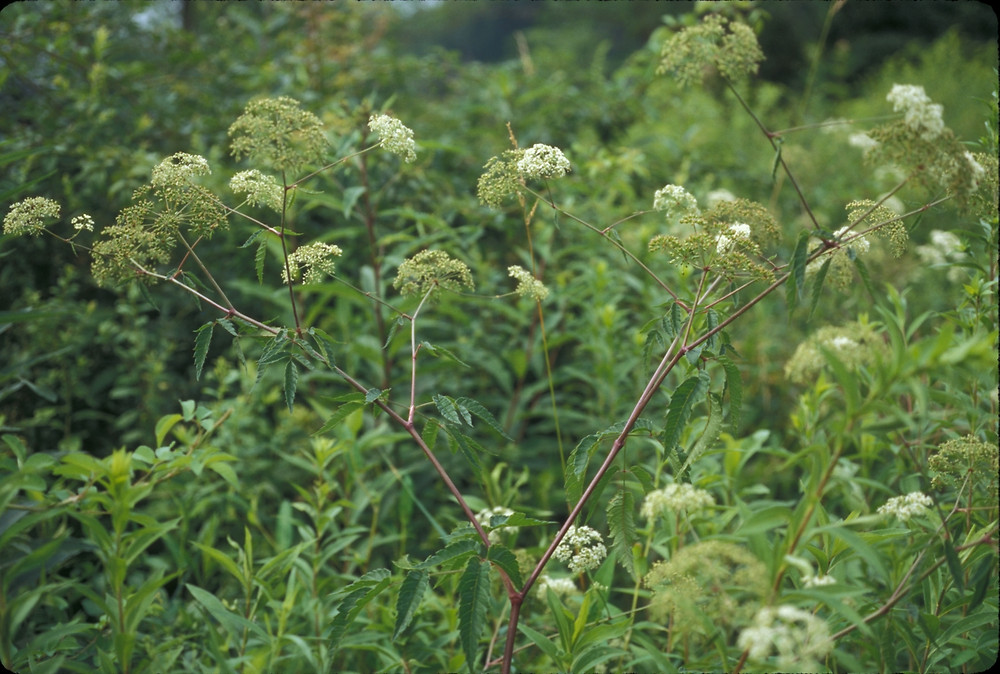 water hemlock is most deadly plant in the world