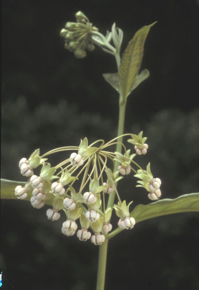 Asclepias exaltata - Poke Milkweed | Asclepias, Butterfly
