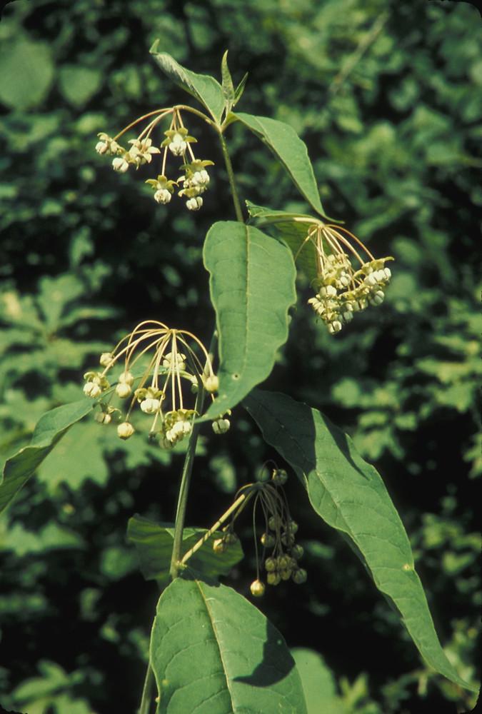 Asclepias exaltata | Poke milkweed, Asclepias exaltata