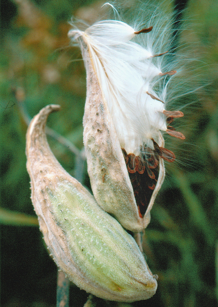 Gallery For > Asclepias Syriaca Fruit