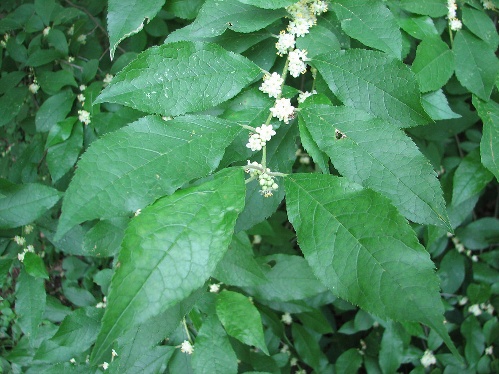 ilex verticillata  common winterberry   go botany