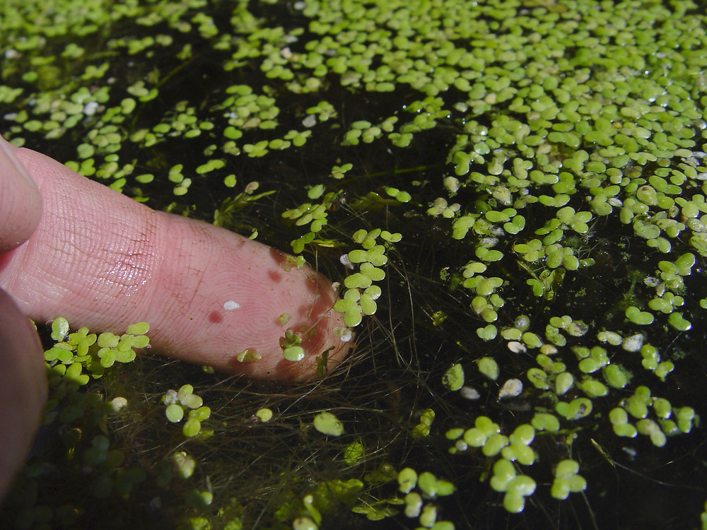 Lemna minor (common duckweed): Go Botany