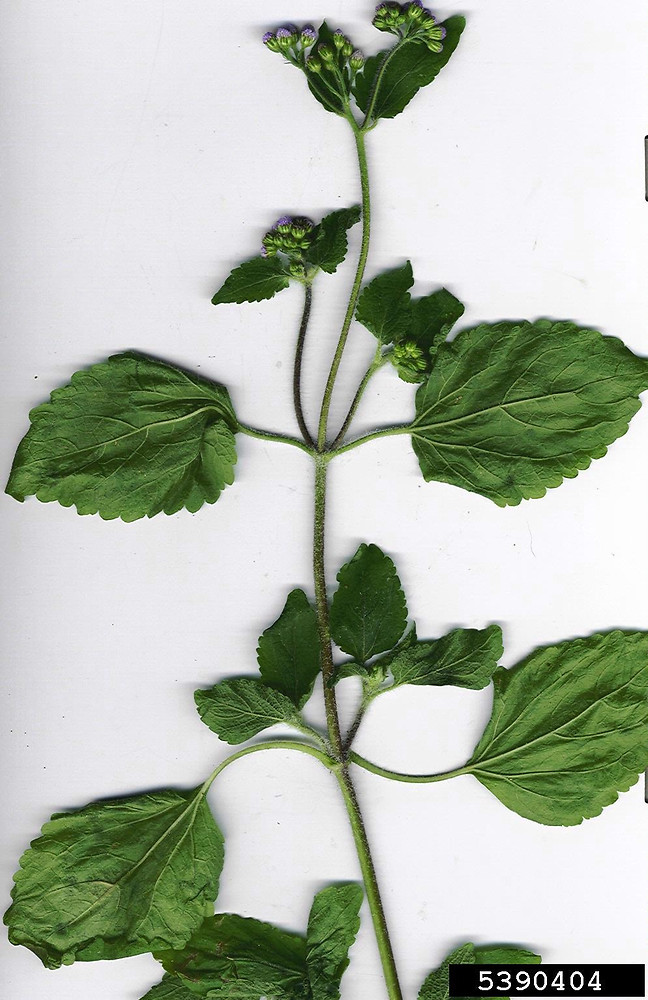 Ageratum conyzoides tropical whiteweed Go Botany