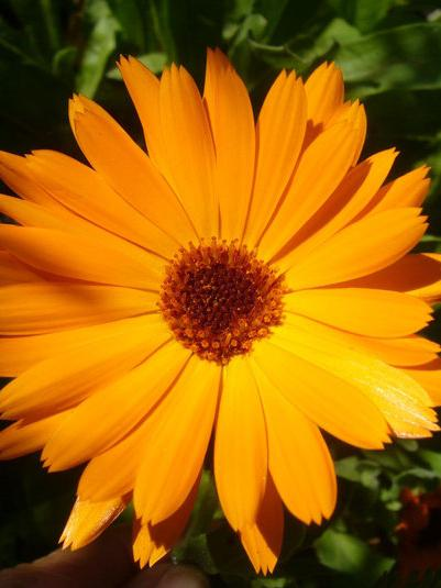 calendula officinalis pot marigold go botany. Black Bedroom Furniture Sets. Home Design Ideas