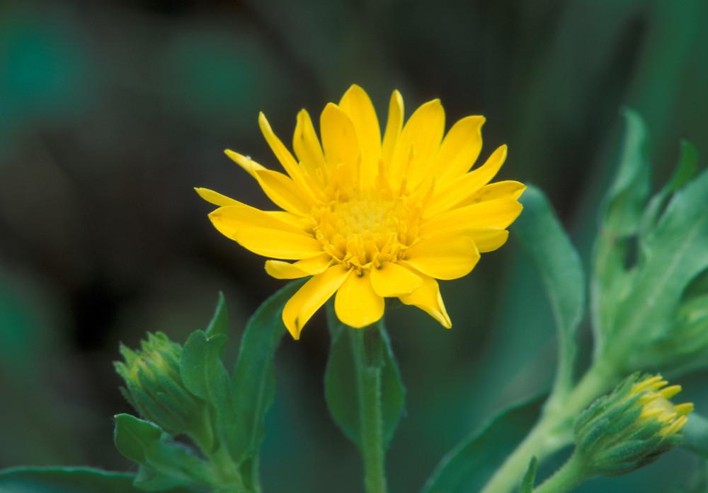 chrysopsis mariana maryland goldenaster go botany, Beautiful flower