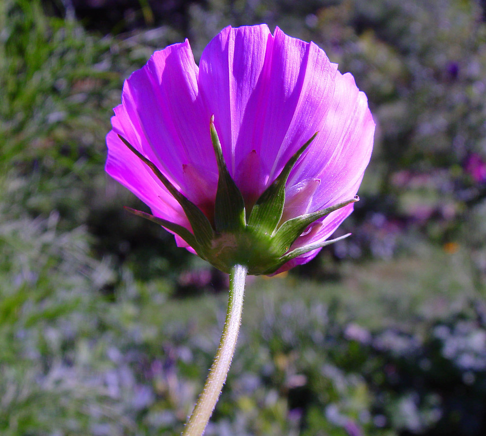 Cosmos Bipinnatus Garden Cosmos Go Botany