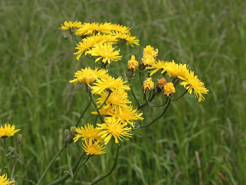 Crepis biennis (rough hawk's-beard): Go Botany - Crepis