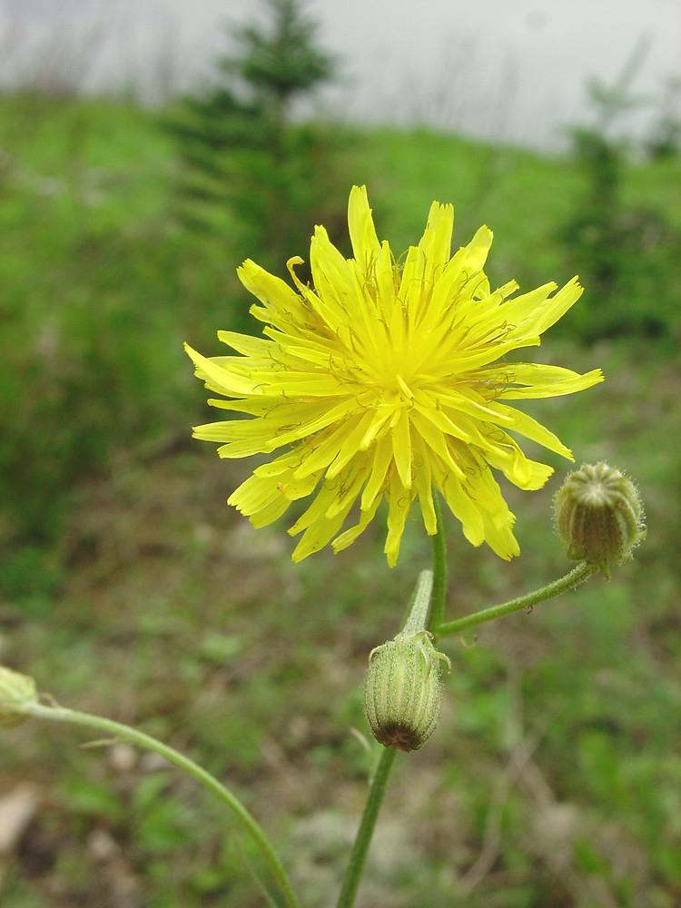 Crepis capillaris (smooth hawk's-beard): Go Botany - Crepis