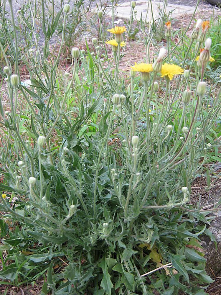 Crepis foetida (stinking hawk's-beard): Go Botany - Crepis