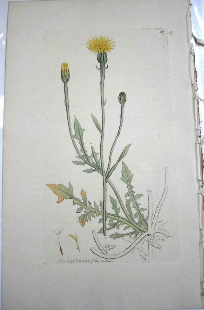 Good Copyright © 2018 Plant Form: Crepis Foetida. ~ By James Sowerby. ~ Public  Domain.