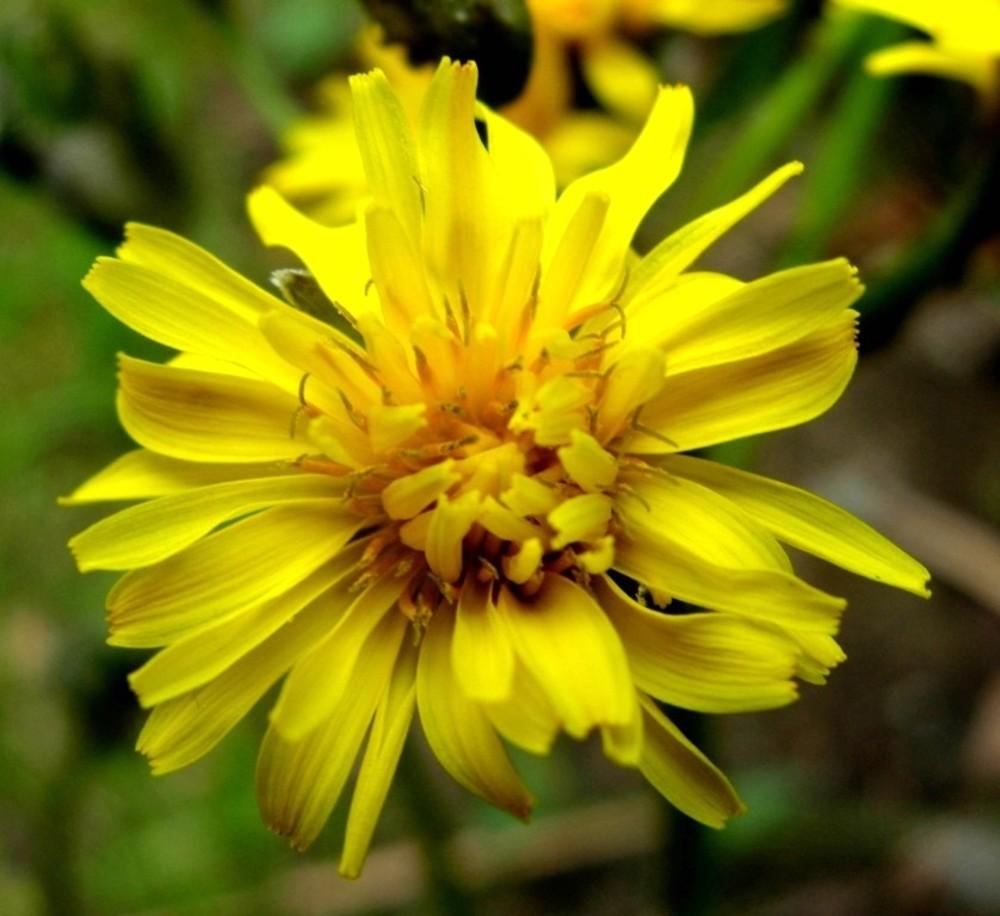 Flowers: Crepis Vesicaria. ~ By Antonino Messina. ~ Copyright © 2018  Antonino Messina ...
