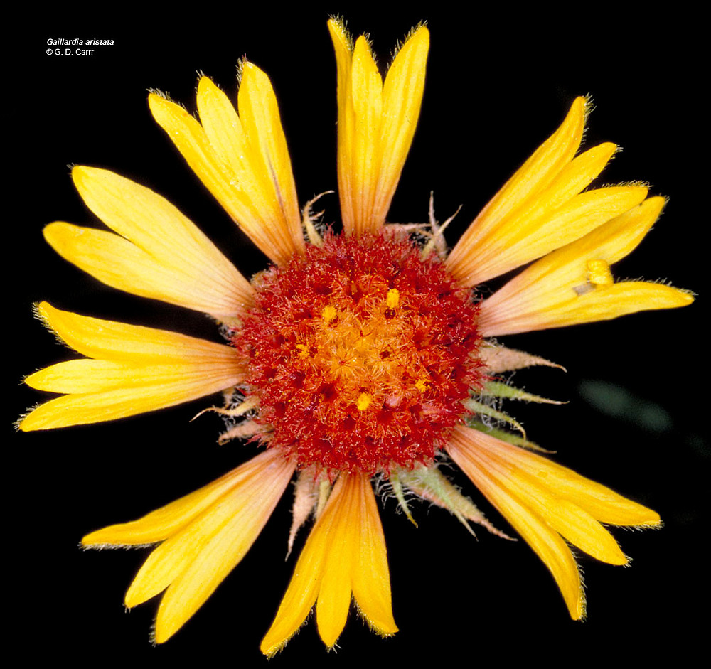 Gaillardia aristata (common blanket-flower): Go Botany