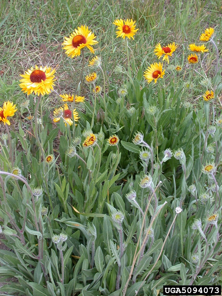 Gaillardia aristata common blanket flower go botany copyright 2018 gerry plant form gaillardia aristata by mary ellen harte mightylinksfo