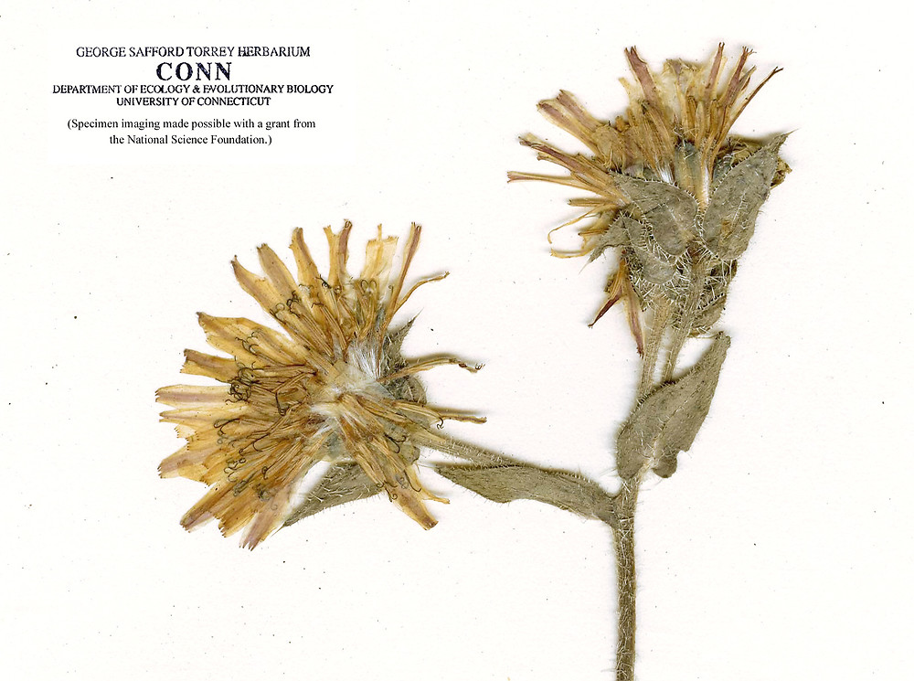 helminthotheca echioides l holub)
